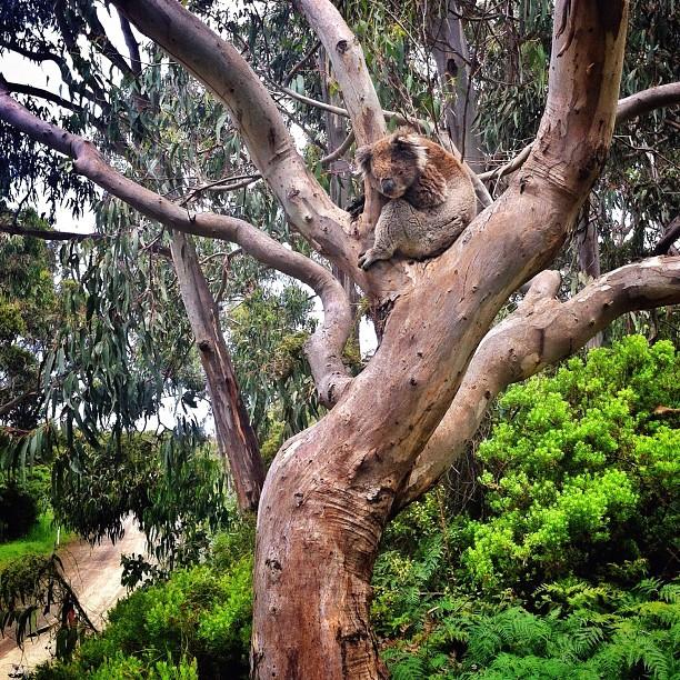 Wild koalas: check // Great Ocean Road // iP4